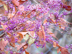 Callicarpa- Prague Zoo, Czech Republic