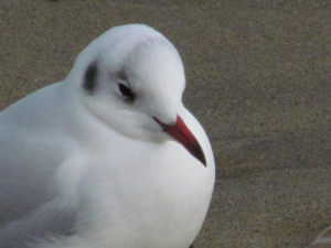 Black headed Gull, Shanklin, Isle of Wight