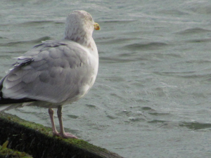 Herring Gull, Shanklin Sea Front, Isle of Wight