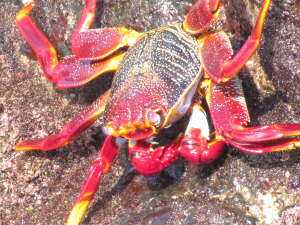 Spectacular Crab, La Palma, Canary Islands