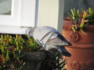 Rock Dove, Ventnor Sea Wall, Isle of Wight