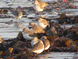 Ringed Plover?Bembridge Harbour, Isle of Wight