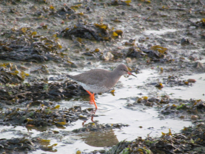 Redshank? Bembridge Harbour, Isle of Wight