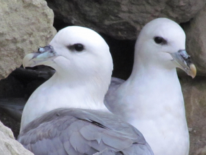 Fulmar, St. Lawrence, Isle of Wight