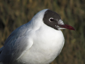 Black Headed Gull, Newtown Nature Reserve, Isle of Wight
