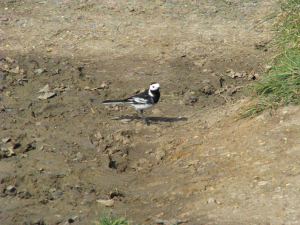 Pied Wagtail, Newtown Nature Reserve, Isle of Wight