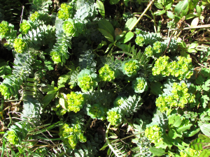 Broad Leaved Glaucous Spurge, Hulverstone, Isle of Wight