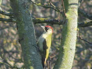 Green Woodpeckers near Woody Bay, Isle of Wight