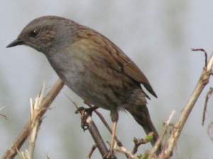 Dunnock or Hedge Accentor, Freshwater, Isle of Wight