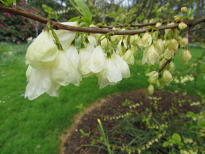 Snowdrop Tree or Silverbell Tree, Trelissick Gardens, Cornwall