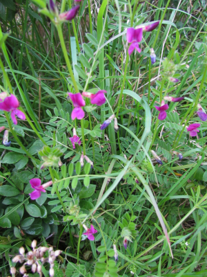 Common Vetch, Battery Bay, Isle of Wight