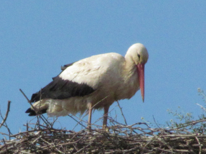 White Stork, Slavonice,Czech Republic