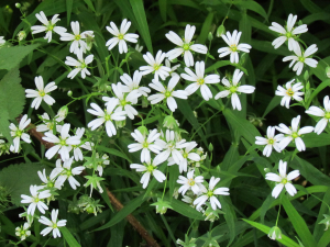 Greater Stitchwort,near Prague, Czech Republic