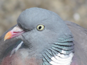 Wood Pigeon, Ventnor Sea Front, Isle of Wight
