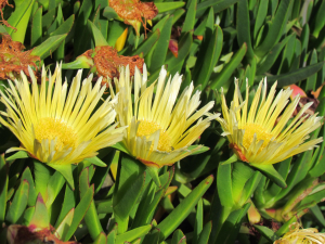 Hottentot Fig-Ventnor, Isle of Wight