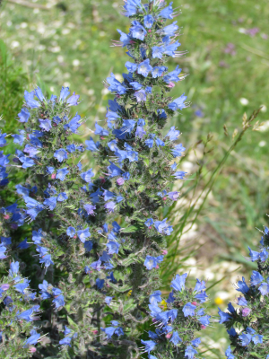 Viper's Bugloss, The Needles, Isle of Wight
