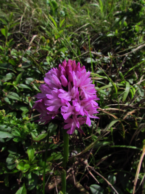 Pyramidal Orchid, The Needles Headland, Isle of Wight