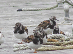 Turnstone, Yarmouth Harbour, Isle of Wight