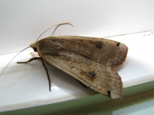 Possible Underwing Moth?