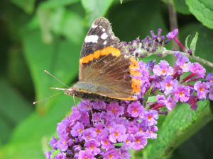 Red Admiral, Warren Farm, Isle of Wight