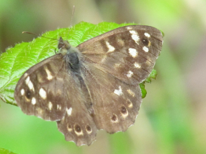 Speckled Wood, Parkhurst Forest, Isle of Wight