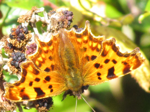 Comma, near Highdown, Isle of Wight