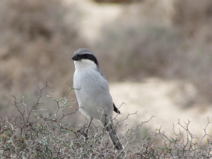Great Grey Shrike, Parque National, Fuerteventura
