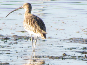 Curlew, Yarmouth, Isle of Wight