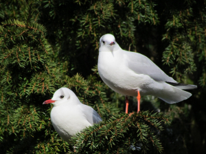 Black headed Gulls in a Yew Tree, Bonchurch Pond, IOW.