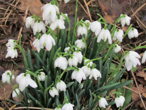 Double Snowdrop, Godshill, Isle of Wight