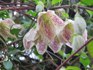 Winter Flowering Clematis, Godshill, IOW