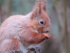 Red Squirrel,Alverstone Mead Nature Reserve, Isle of Wight