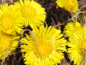 Coltsfoot, Compton Bay, Isle of Wight