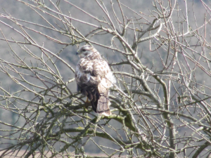 Buzzard, Freshwater Way, Isle of Wight