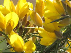 Common Gorse, Yarmouth, Isle of Wight