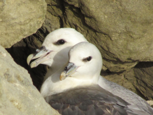 Fulmar near Woody Bay, Isle of Wight