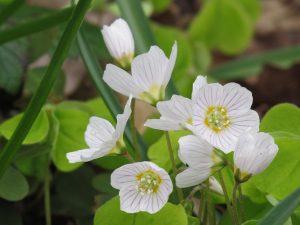 Wood Sorrel, Borthwood Copse, Isle of Wight