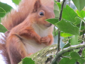 Red Squirrel in Borthwood Copse, Isle of Wight today!