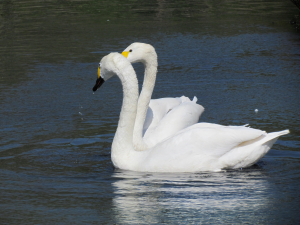 Bewick's Swan, London Wetland Centre