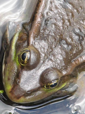Marsh Frog-London Wetland Centre