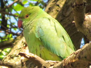 Ring Necked Parakeet,Richmond Park