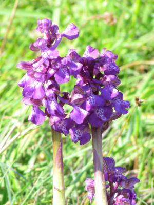 Green Winged Orchid,Colwell Recreation Ground, IOW