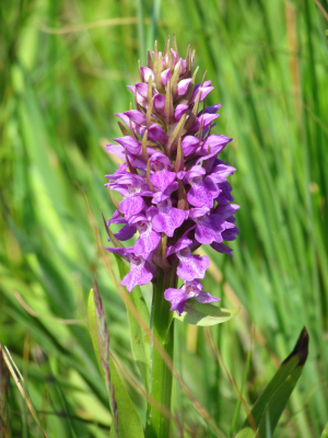 Southern Marsh Orchid,Compton Farm, Isle of Wight