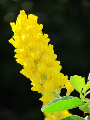 Moroccan or Pineapple Broom in my garden.
