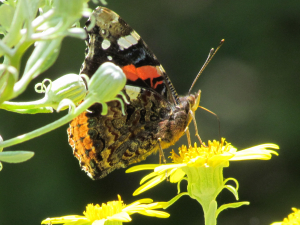 Red Admiral on Brachyglottis x jubar in my garden