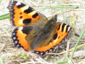 Small Tortoishell Butterfly,Ventnor Sea Wall