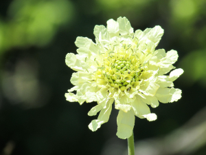 Giant Scabious,Niton, Isle of Wight