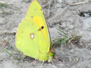 Clouded Yellow, Rocken End, Isle of Wight