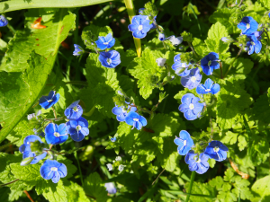 Germander Speedwell,Knighton Woods East, IOW
