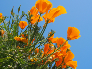 Californian Poppy, Ventnor, Isle of Wight